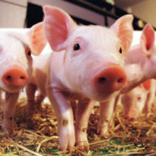 "CRISPR Bacon: Scientists Create Genetically Modified ""Low-Fat"" Pigs"