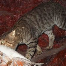 Australian Town Offers $5 Per Kitten Scalp, Promoting Mass Culling of Feral Cats