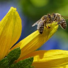 UK FINALLY supports total ban on ALL bee-killing neonicotinoids